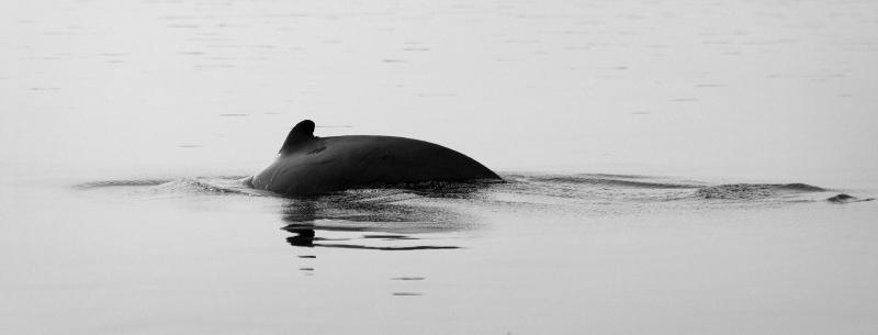 Irrawaddy dolphin going under water