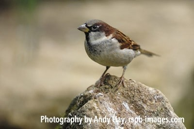 House Sparrow – Photography by Andy Hay, rspb-images.comHou