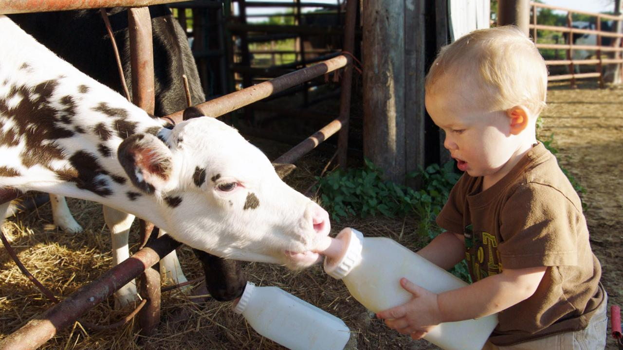 Young Lauderdale boy feeding calf with bottle