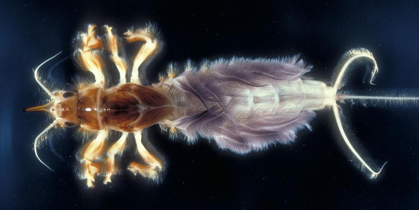 Closeup of a Hexagenia, a type of macroinvertebrate