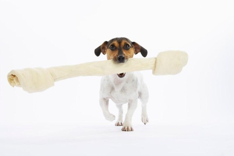 Dog carrying rawhide bone