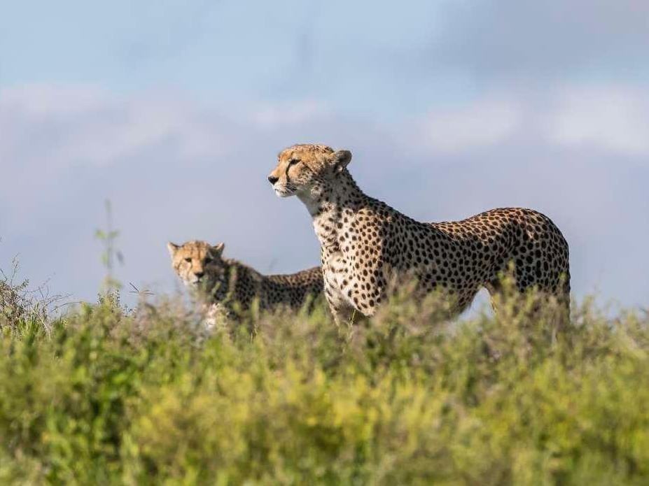 Cheetahs surveying the wild