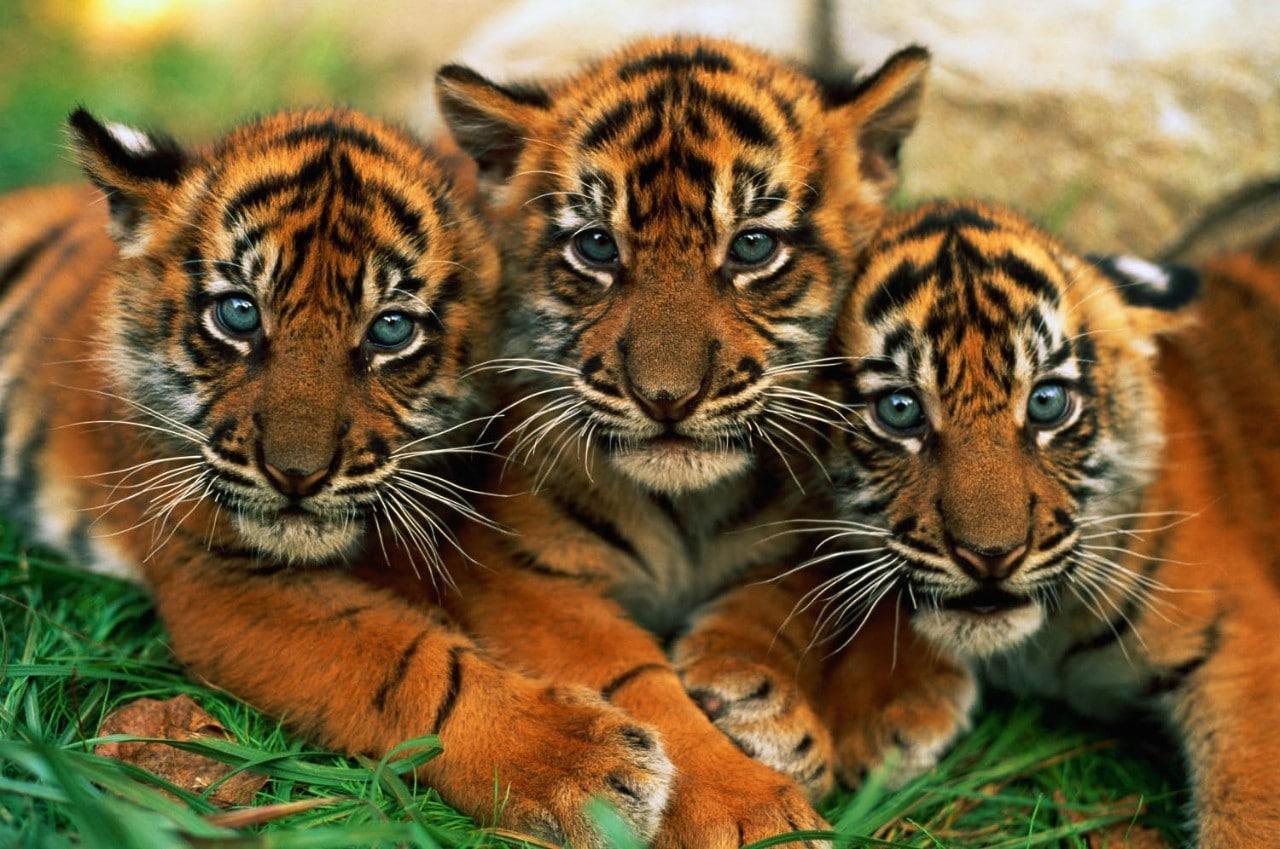 three sumartran tiger cubs close up