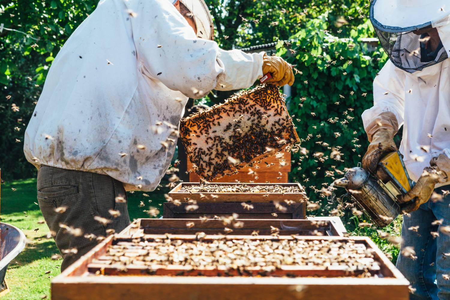 Beekeepers working with bees