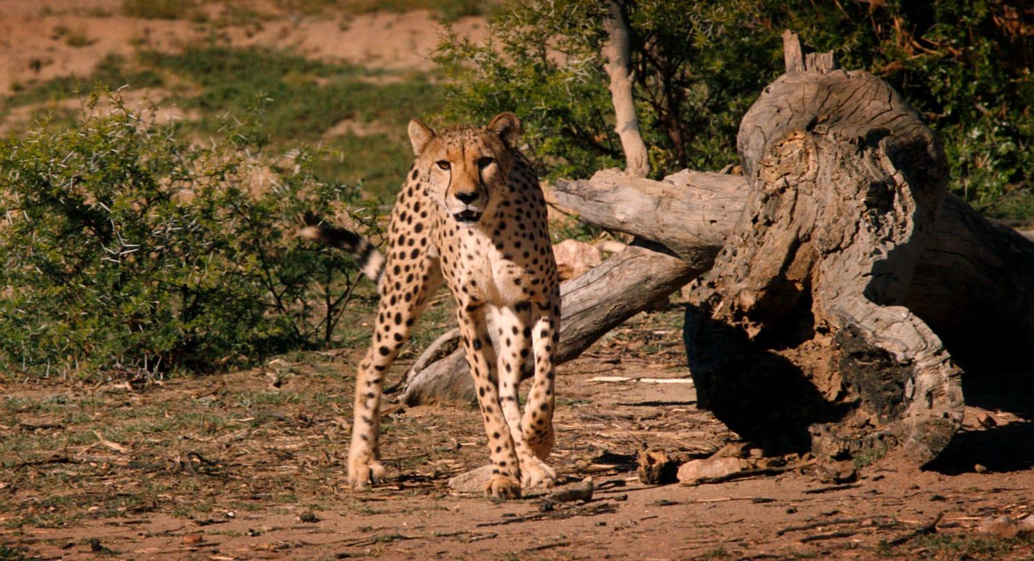 Cheetah in its natural habitat