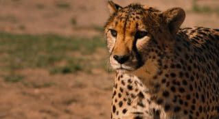 WildTrack - Protecting Endangered Species with AI Solutions