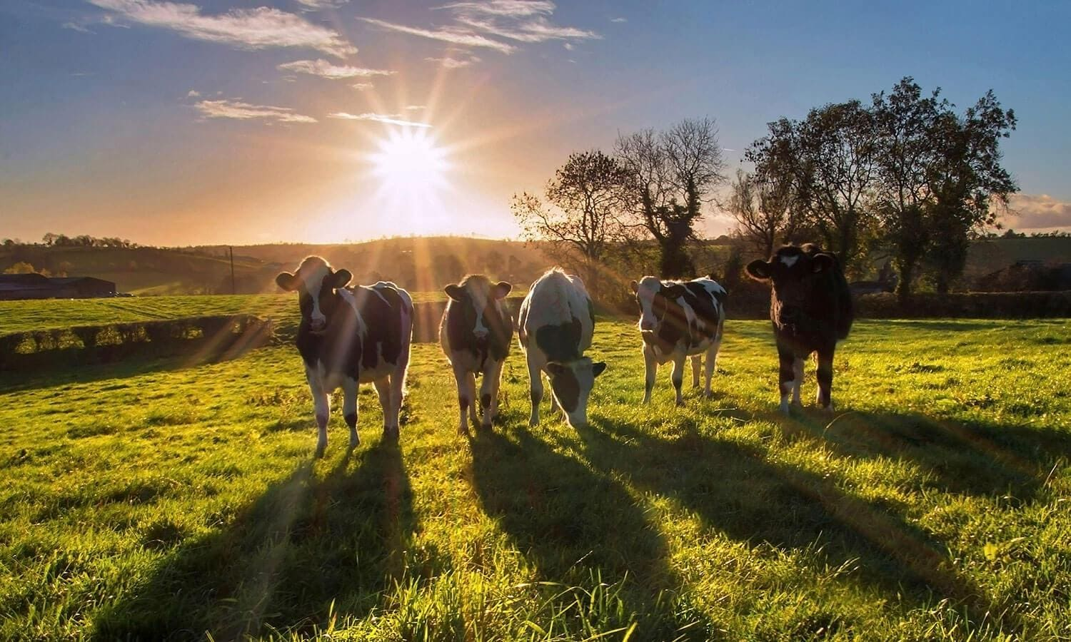 Five cows standing on pasture at sunset