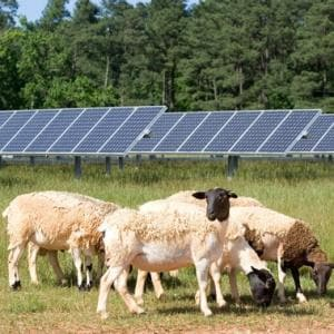 Sheep graze beneath solar farm panels on SAS campus