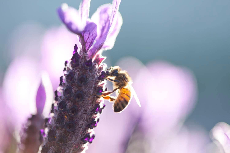 Bee on lavender flower