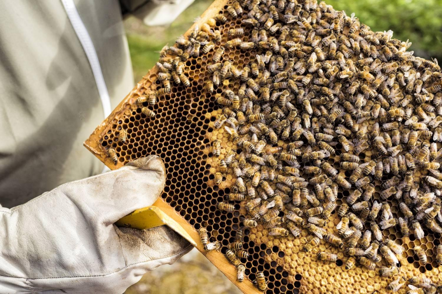 Beekeeper holding honeycomb with bees