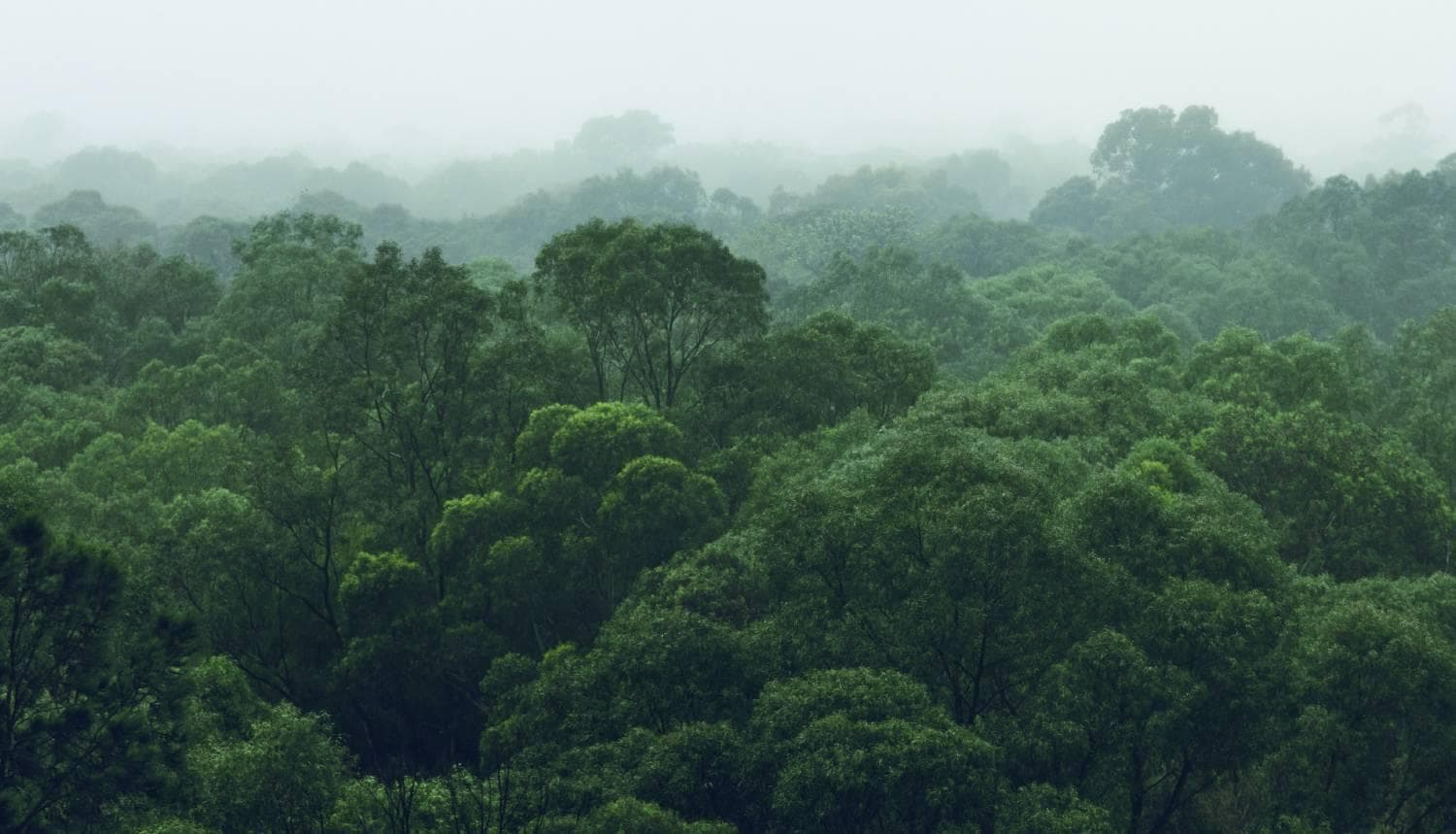 Aerial view of rainforest trees